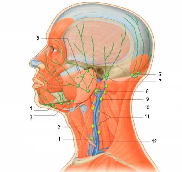 Лимфоузлы головы