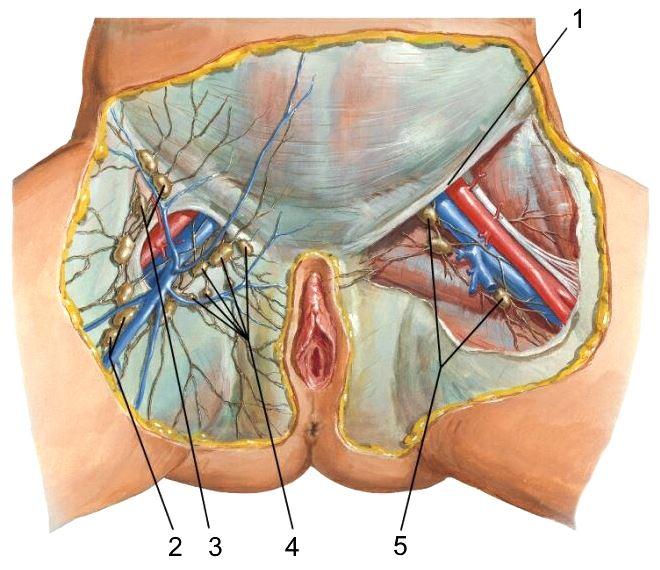 Паховые лимфатические сосуды и узлы у женщин схема