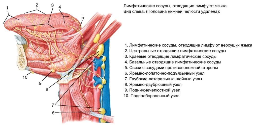 лимфатические сосуды отводящие лимфу от языка