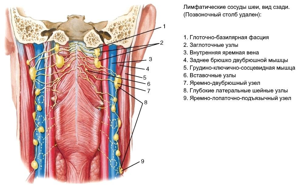 лимфатические сосуды шеи вид сзади