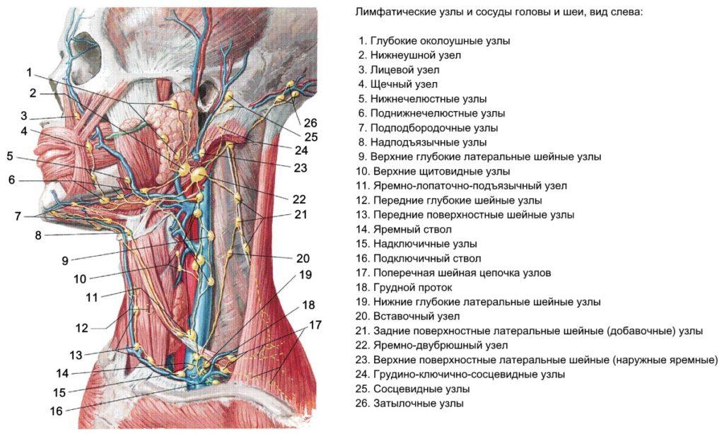 Расположение подчелюстных лимфоузлов: схема, причины и симптомы заболеваний
