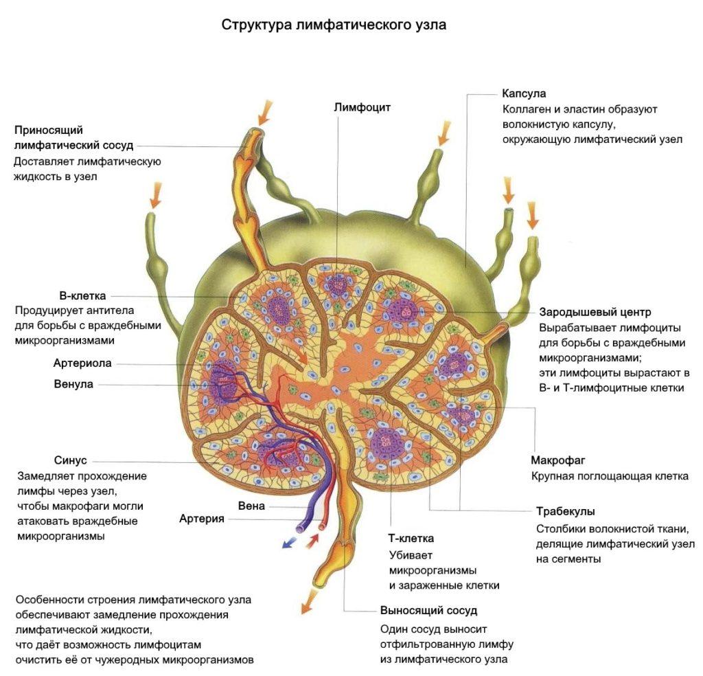 структура строения лимфоузла