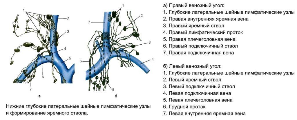 нижние глубокие латеральные шейные лимфатические узлы