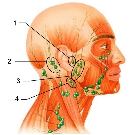 железы в оласти уха
