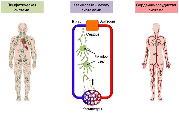взаимосвязь лимфатической и сердечно-сосудистой систем